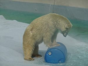 Polar Bear who Survived 25 years in warm Mexican zoo, Dies